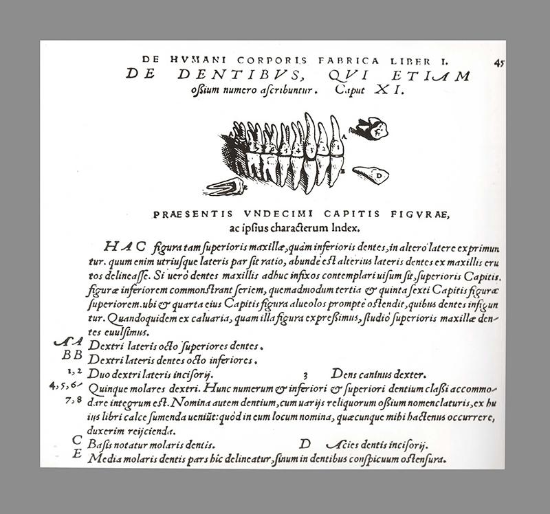 Ilustração do ano 1543 de um pré molar visto em secção.